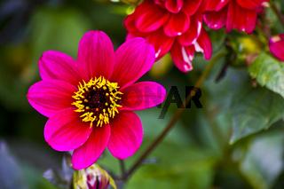 Rot pink blühende Dahlie