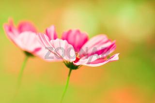 Pink cosmos flower on creamy background