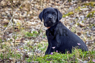 Schwarzer Labrador Retriever Welpe.
