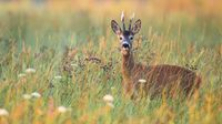 Roe deer buck between blooming flowers on a green meadow in summer nature