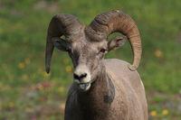 Bighorn Sheep Glacier National Park Montana USA