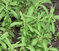 Stevia, rebaudiana, Suesskraut