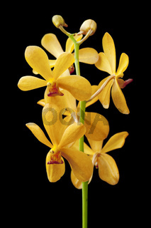 Yellow orchid.