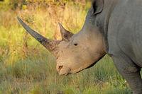 Portrait of a white rhinoceros (Ceratotherium simum) in natural habitat