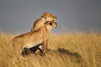 Lion and cub, Masai Mara, Kenya