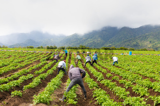 Panama Boquete, tilling of the soil in onions cultivation