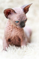 Portrait of Canadian Sphynx Cat kitten with big blue eyes sitting on white carpet with long pile. Close-up view of hairless female kitten.