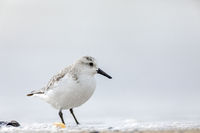 A Sanderling stands on the beach / Calidris alba