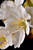 Macro shot of a single cherry blossom with stamens and petals