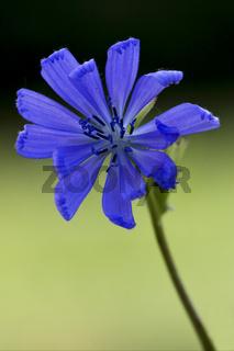 blue composite  cichorium intybus