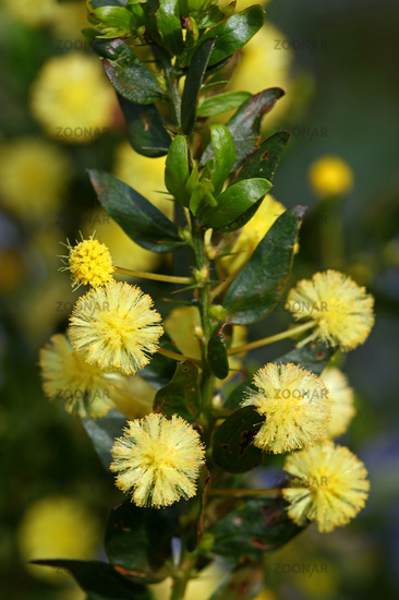 hedge wattle, kangaroo thorn