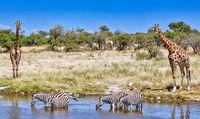 giraffes and zebras at the waterhole, Etosha National Park, Namibia