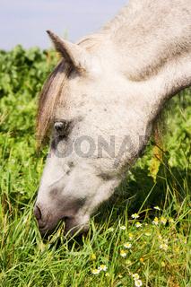 Grasendes Pony