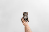 Beautiful grey tabby kitten in hands. Small furry cat on white wall background. hand holding baby pet. Veterinary concept.
