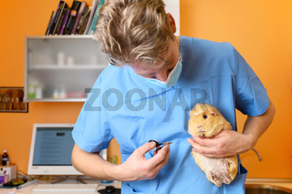 Veterinarian Doctor cutting nails to a guinea pig