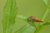 Hawthorn shield bugs, (Acanthosoma haemorrhoidale)