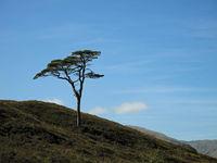Scotch Pine in Glen Affric, Scotland
