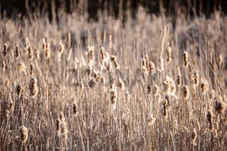 orange reeds in spring time