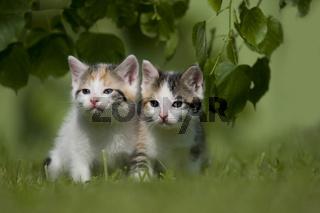 zwei kaetzchen auf Wiese, two kitten on a meadow