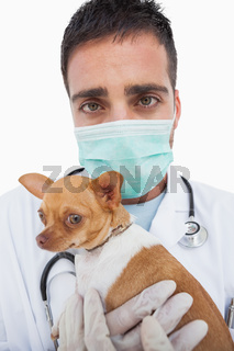 Worried male vet holding chihuahua