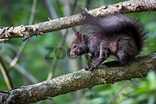 Eurasisches Eichhörnchen ( Sciurus vulgaris ).