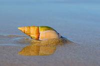 Plough snail (Bulliua digitalis)