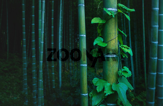 Bamboo trunk covered with envy in mystical forest at Arashiyama grove in Kyoto, Japan