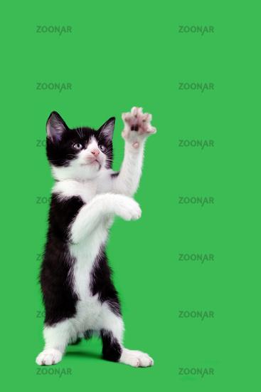 Playful Domestic Cat Cutout