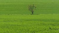 Stemmer Berg - Einzelner Baum zwischen Getreidefeldern, Deutschland