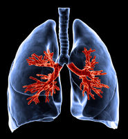 Lungs with visible bronchi