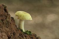 Ockertaeubling (Russula ochroleuca)