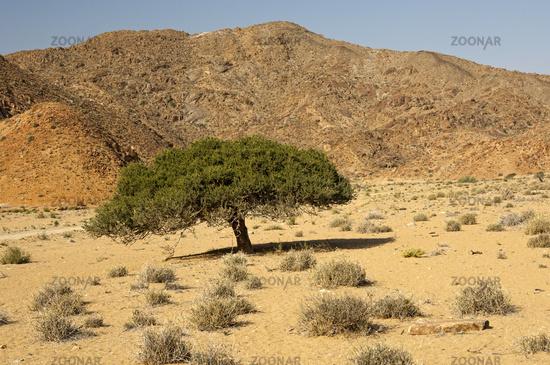 Shepherd's tree,  Richtersveld National Park