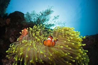 Clown-Anemonenfisch
