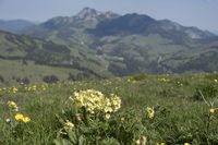 Cowslip in the mountains