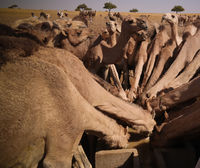 Portrait of drinking camels at the desert well in Djibriga at Barh-El-Gazal, Chad