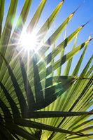 Die Sonne scheint durch grüne Palmenblätter