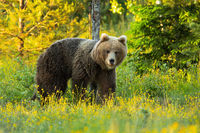 Brown bear looking on colorful meadow in spring nature