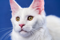 Close-up portrait of longhair American Forest Cat on blue background