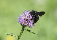 Large blue wood bee (Xylocopa violacea)