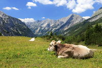 cow on a field in the mountains