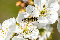 Bee on a flower collecting pollen. Honeybee gathering nectar from summer blossoms