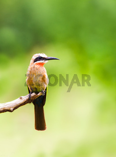 White fronted bee eater bird perched on a branch