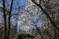 Magnolia salicifolia, willowleaved magnolia