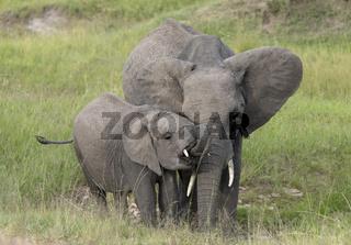 Elephant drinking water, Maasai Mara, Kenya, Africa