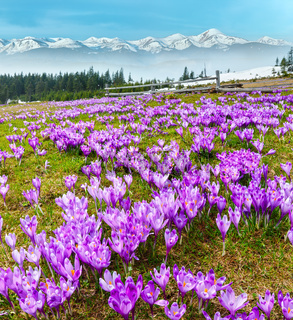 Colorful blooming purple Crocus heuffelianus (Crocus vernus) alpine flowers on spring Carpathian mountain plateau valley, Ukraine, Europe. Beautiful conceptual spring landscape.