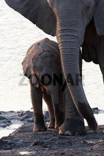 Elefantenbaby mit Mutter (Loxodonta africana)