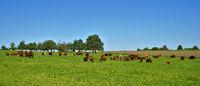 Grazing cattle, herd of cows
