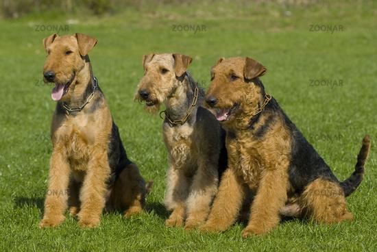 Three Airdale Terriers in Meadow