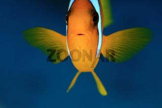 Rotmeer-Anemonenfisch, Red Sea Anemonefish, Amphiprion bicinctus