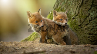 Two little red fox cubs cuddling next to tree in sunlight